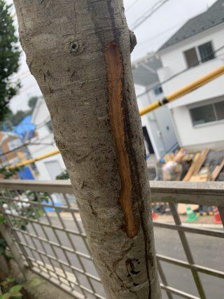 カブトムシの木 1