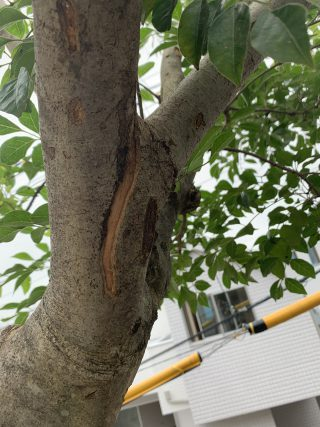 カブトムシの木 2